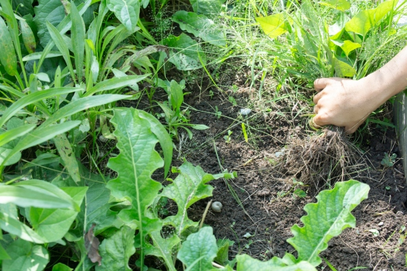 Close up of female hands pull out weeds from ground garden.